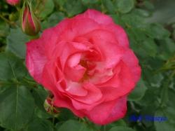 葛西総合公園のバラ14