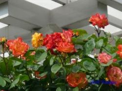 葛西総合公園のバラ15