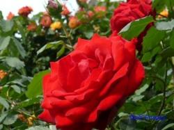 葛西総合公園のバラ16