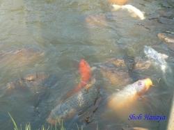 小石川植物園のニシキゴイ