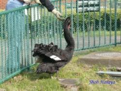 ベルモント公園の黒鳥2