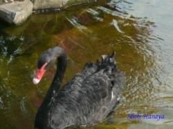 ベルモント公園の黒鳥3