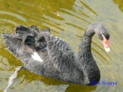 ベルモント公園の黒鳥4