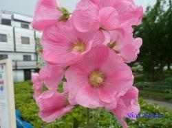 足立区道端の花5