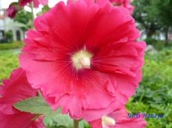 足立区道端の花6