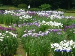 皇居東御苑の花菖蒲再訪8