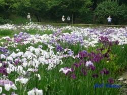小石川後楽園の花菖蒲1