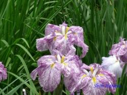 小石川後楽園の花菖蒲2
