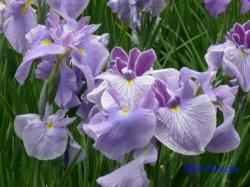 小石川後楽園の花菖蒲3