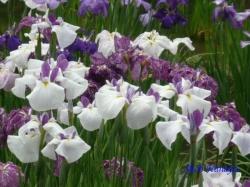 小石川後楽園の花菖蒲4
