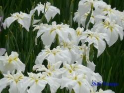 小石川後楽園の花菖蒲5