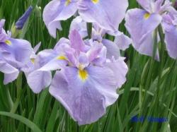 小石川後楽園の花菖蒲6