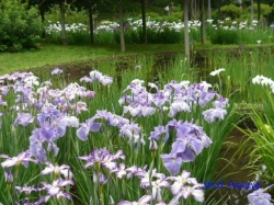 小石川後楽園の花菖蒲7