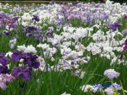 小石川後楽園の花菖蒲8