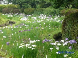 小石川植物園花菖蒲1
