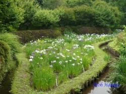 小石川植物園花菖蒲2