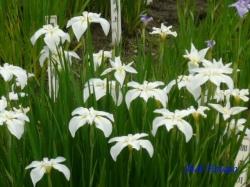 小石川植物園花菖蒲3