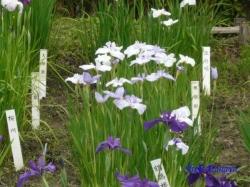 小石川植物園花菖蒲4