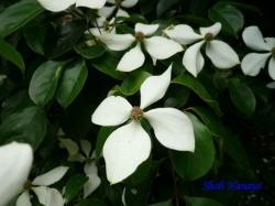 小石川植物園6月の花1