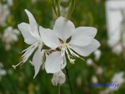 小石川植物園6月の花5