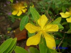 小石川植物園6月の花6