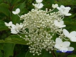 小石川植物園6月の花11