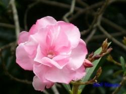 小石川植物園6月の花16