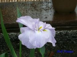 靖国神社花菖蒲2