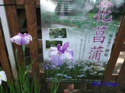 明治神宮御苑の花菖蒲1