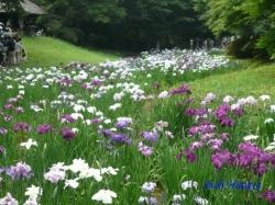 明治神宮御苑の花菖蒲4