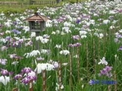 小岩菖蒲園4