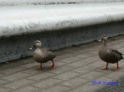 代々木公園の鴨1