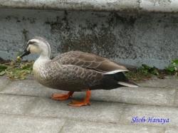 代々木公園の鴨2