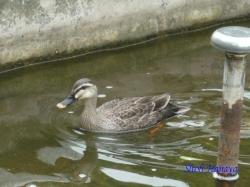 代々木公園の鴨3