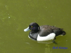 小石川植物園の鳥