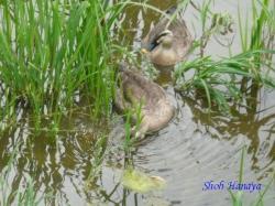 水元公園の鴨1