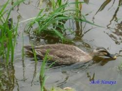 水元公園の鴨2