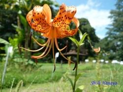 小石川植物園の花1