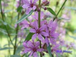 小石川植物園の花10