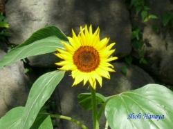 皇居東御苑7月の花3