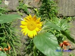 皇居東御苑7月の花4
