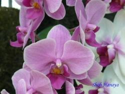 夢の島熱帯植物館のラン2