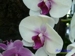 夢の島熱帯植物館のラン3