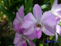 夢の島熱帯植物館のラン4