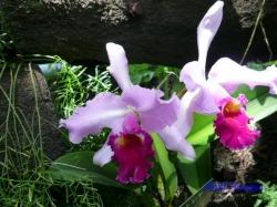 夢の島熱帯植物館のラン5