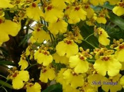 夢の島熱帯植物館のラン7