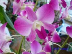 夢の島熱帯植物館のラン8