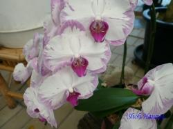 夢の島熱帯植物館のラン9