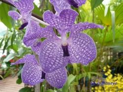 夢の島熱帯植物館のラン11