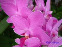 夢の島熱帯植物館のラン13